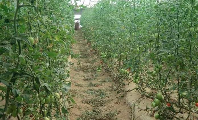 Aplican medidas sanitarias en los invernaderos