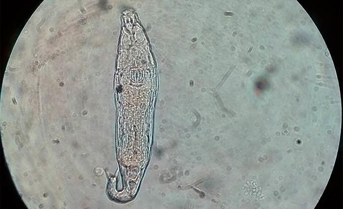 Un animal microscópico sobrevive tras 24,000 años congelado