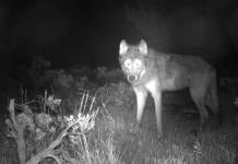 Colorado tiene primera camada de cachorros de lobo gris