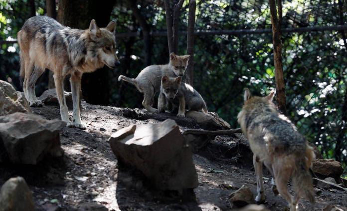 Cinco lobeznos mexicanos aumentan la esperanza en mantener la especie
