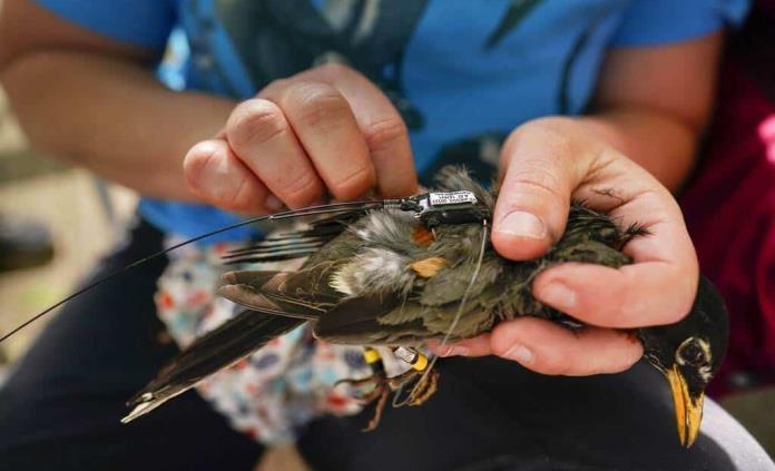 La era dorada de la investigación de la migración de aves