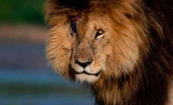 Muere Scarface, el léon más famoso de Kenia
