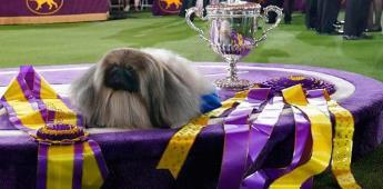 Perro pequinés de nombre Wasabi gana el Westminster