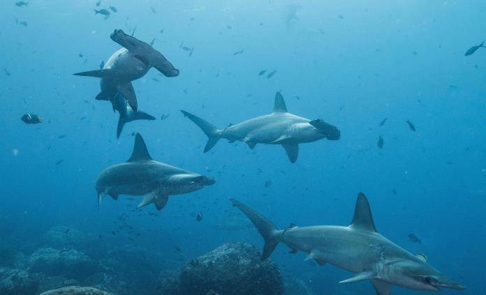 Tiburón viaja 4 mil kilómetros, regresa a Galápagos y no se sabe dónde está