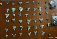 Ciudadano entrega al INAH dientes de un tiburón prehistórico