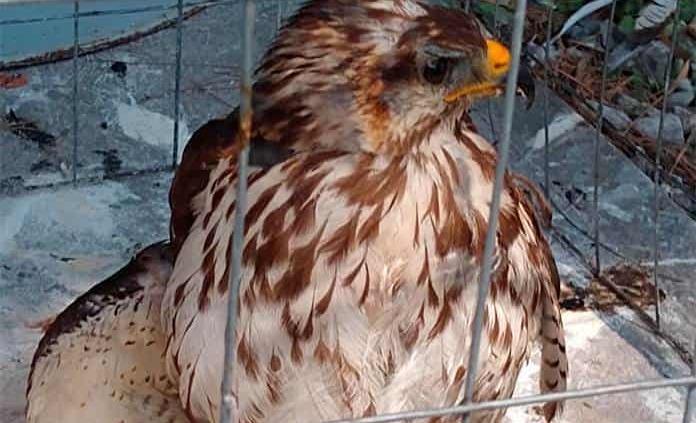 Bomberos rescatan a un águila