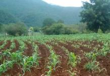Lluvias beneficiaron al sector campesino