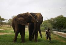 La pandemia también pasa factura a los elefantes asiáticos