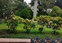 Buscan resurgir plazas públicas con camelias