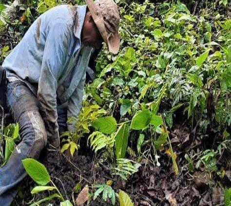 Reverdecen La Lima con reforestación