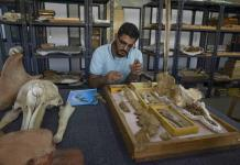 Equipo egipcio identifica un fósil de ballena terrestre