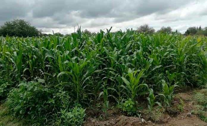 Lluvias dejan beneficios para los agricultores
