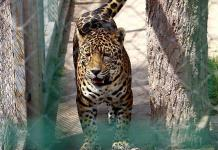 Buscan nombre para jaguares del Tangamanga