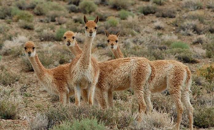 La práctica ancestral que proporciona en Argentina la lana más fina del mundo