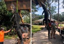 Atrapan al Godzilla de Florida, un caimán de más de 3 metros y medio