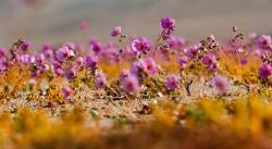 El milagro de las flores de Atacama, bajo la amenaza del cambio climático